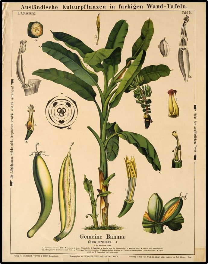 Le banane sono un argomento complesso, studiato da secoli, e Sacha ha fatto cinque anni di università per padroneggiarlo.